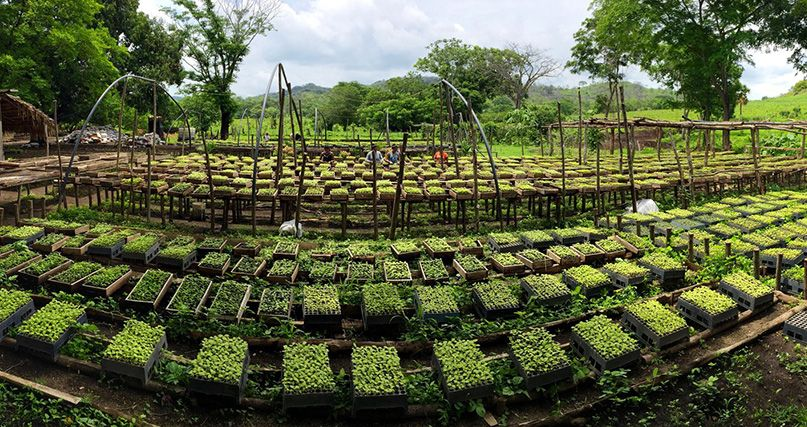 Young trees grow in the nursery, where they grow under protection until it is time to plant them in the wild.