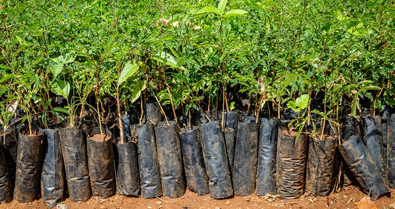 Tropical trees, ready to plant to create newly wooded areas. They grow faster, therefore absorbing significantly more CO2 than European trees.