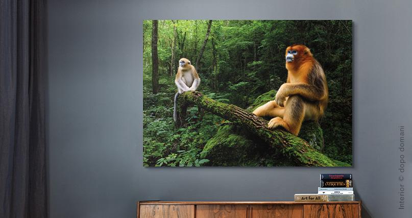 Marsel Van Oosten: Qinling golden snub-nosed monkeys